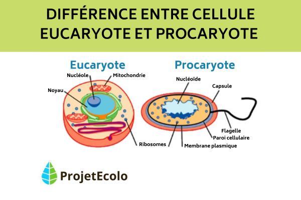 Différences entre cellules eucaryotes et procaryotes