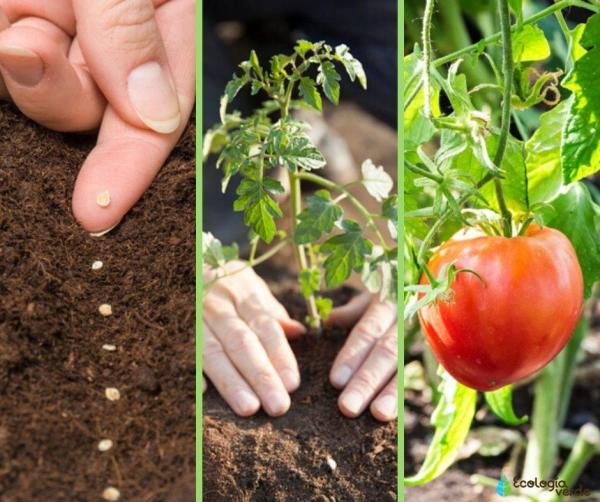 A quel moment planter les tomates - A quel moment planter les tomates - hémisphère Nord