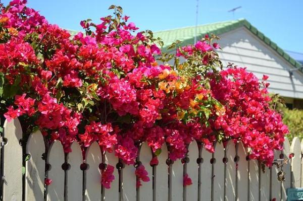 Plantes grimpantes - Liste, d'intérieur, extérieur et fleuries - Bougainvillier