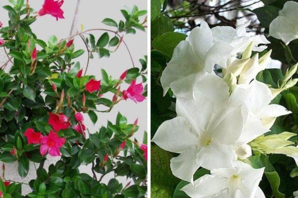 Plantes grimpantes - Liste, d'intérieur, extérieur et fleuries - Dipladenia o mandevilla