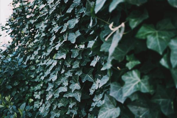 Plantes grimpantes - Liste, d'intérieur, extérieur et fleuries - Lierre des Canaries