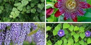 Plantes grimpantes - Liste, d'intérieur, extérieur et fleuries