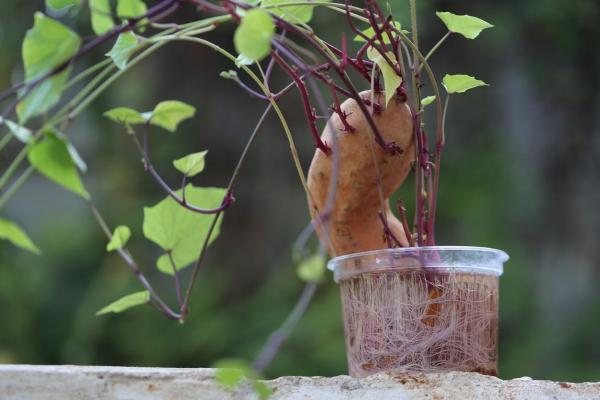 Comment cultiver des patates douces - Comment planter la patate douce en pot