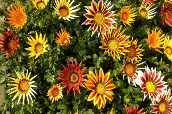 16 plantes de plein soleil - Liste et photos - Gazanies