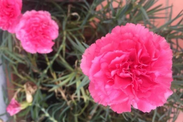16 plantes de plein soleil - Liste et photos - Œillets : des fleurs de plein soleil