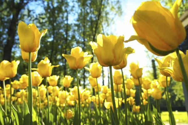 16 plantes de plein soleil - Liste et photos - Tulipes