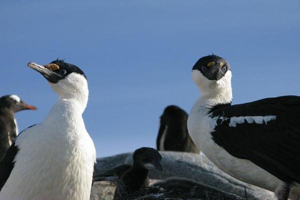 Animaux de l'Antarctique - Noms, caractéristiques et photos - Cormoran de l'Antarctique (Leucocarbo bransfieldensis)