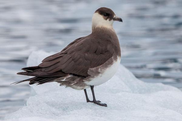 Animaux de l'Antarctique - Noms, caractéristiques et photos - Grand Labbe (Stercorarius skua)