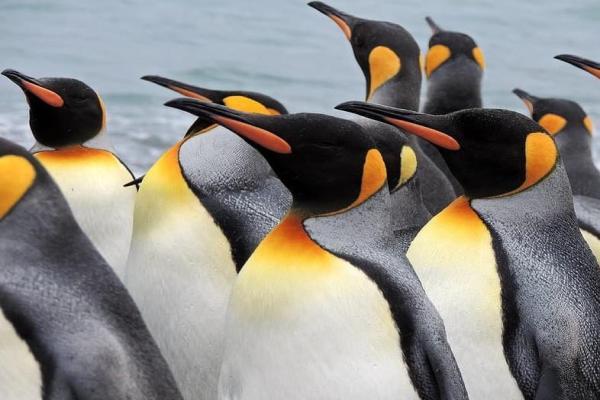Animaux de l'Antarctique - Noms, caractéristiques et photos - Manchot Royal (Aptenodytes patagonicus)
