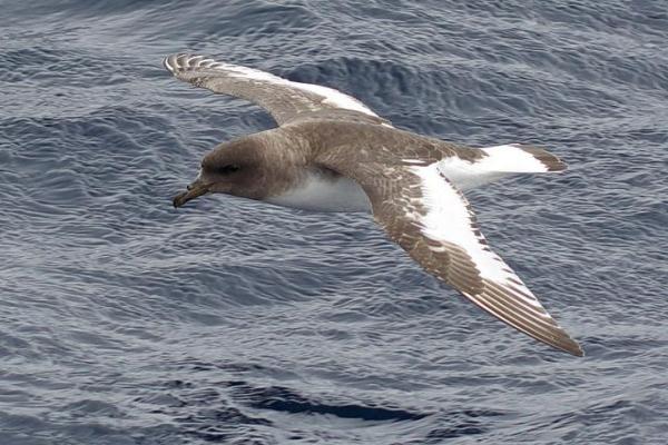 Animaux de l'Antarctique - Noms, caractéristiques et photos - Pétrel antarctique (Thalassoica antarctica)