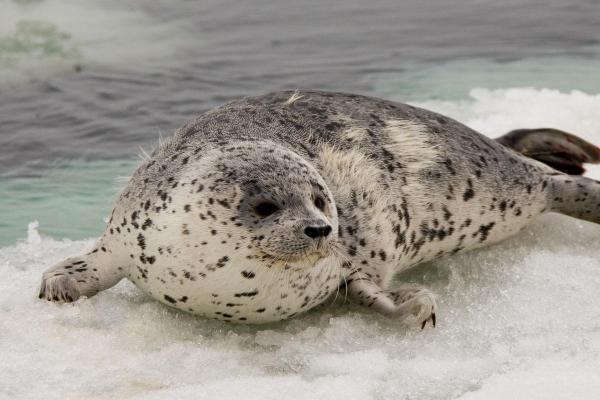 Animaux de l'Antarctique - Noms, caractéristiques et photos - Phoque de l'Antarctique ou phoque de Weddell (Leptonychotes weddellii)