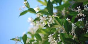9 types de jasmin - Noms, caractéristiques et photos