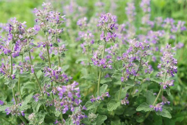 Plantes anti-mouches d'extérieur et d'intérieur - Cataire