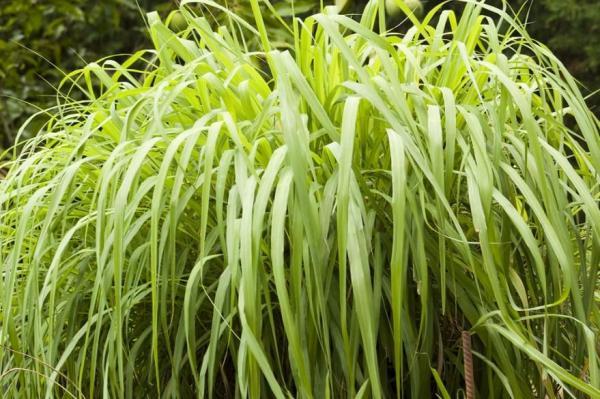 Plantes anti-mouches d'extérieur et d'intérieur - Citronnelle
