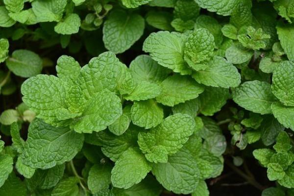 Plantes anti-mouches d'extérieur et d'intérieur - Menthe