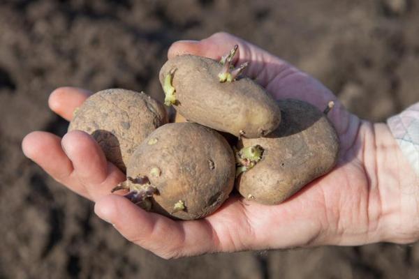Tubercules : définition et exemples - Pomme de terre