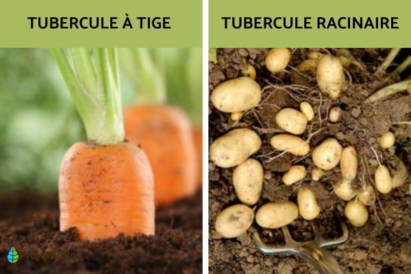 Tubercules : définition et exemples - Types de tubercules