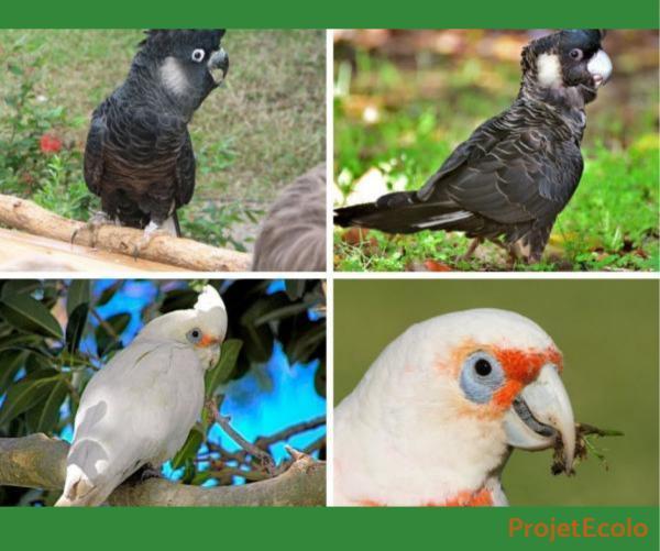 +20 oiseaux d'Australie - Noms et photos - Cacatoès australiens