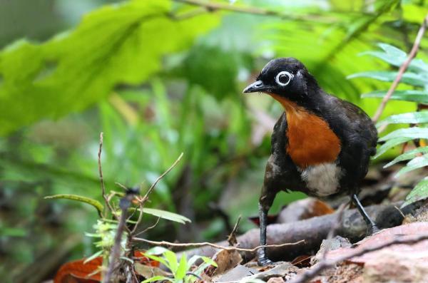 +20 oiseaux d'Australie - Noms et photos - Orthonyx de Spalding, un des oiseaux chanteurs d'Australie