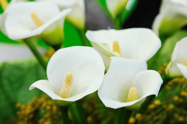 Comment garder un calla comme plante d'intérieur - Entretien - Température, lumière et emplacement