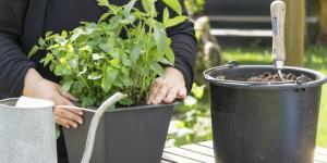 Comment faire pousser de la menthe