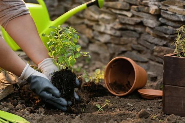 Comment faire pousser de la menthe - Comment planter de la menthe dans le sol