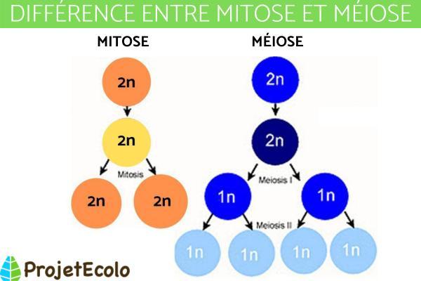Différence entre méiose et mitose