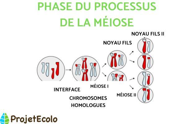Différence entre méiose et mitose - Qu'est-ce que la méiose - définition et phases