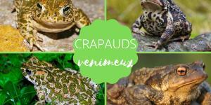 Crapaud venimeux : espèces et caractéristiques