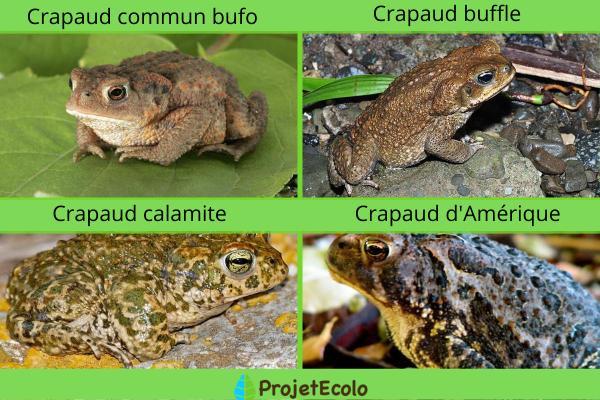 Crapaud venimeux : espèces et caractéristiques - Espèces de crapauds venimeux