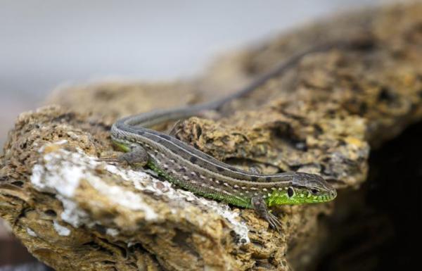Animaux à sang froid - Liste avec photos - Les reptiles sont des animaux à sang froid : les lézards