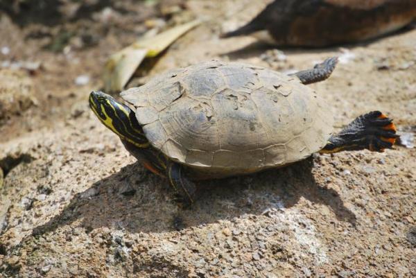 Animaux à sang froid - Liste avec photos - Tortues, reptiles dont la thermorégulation est assurée par le soleil