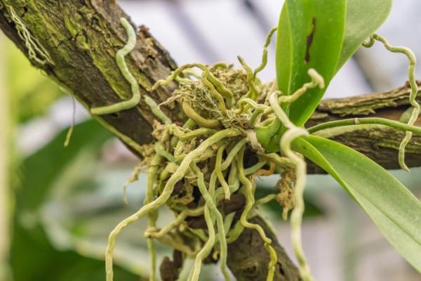 Les différents types de racines - Racines aériennes