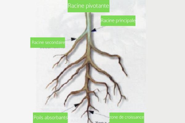 Les différents types de racines - Racines pivotantes ou axonomorphiques