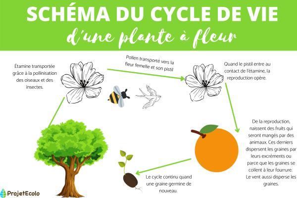 Cycle de vie d'une plante à fleur et asexuée - Schéma cycle de vie d'une plante à fleur