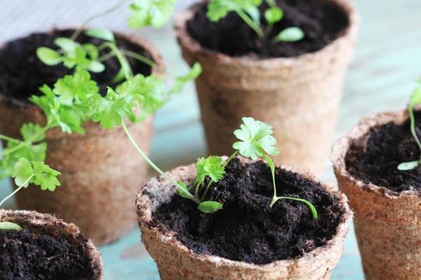 Comment semer du persil - Comment planter du persil à partir de pousses