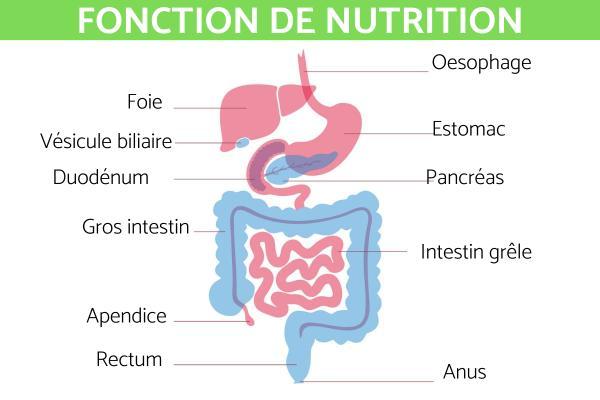 Fonction de nutrition : Définition et processus