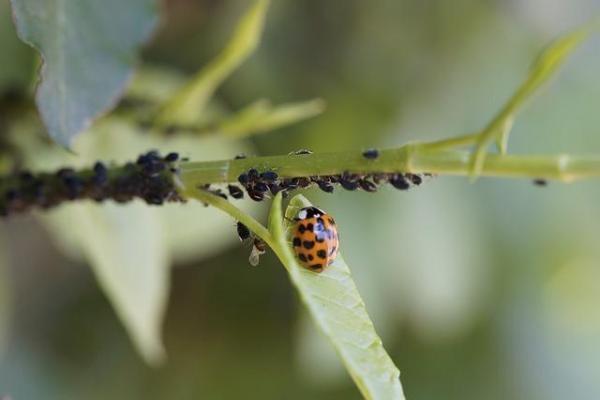 Comment se débarrasser des pucerons naturellement - 7 remèdes maison - Lutter naturellement contre les pucerons avec des plantes et des insectes