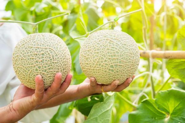 8 types de melons - Melon japonais