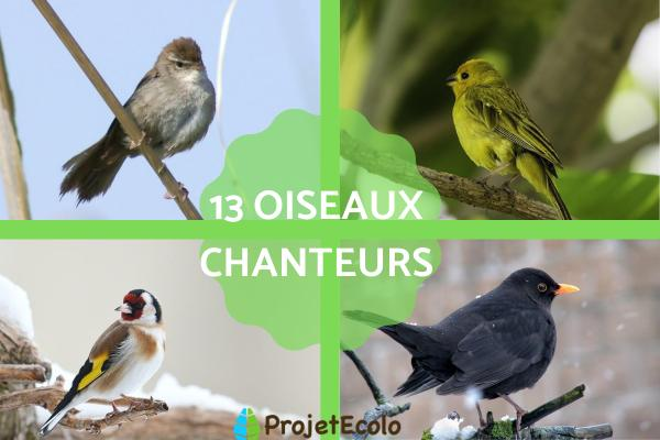 13 oiseaux chanteurs