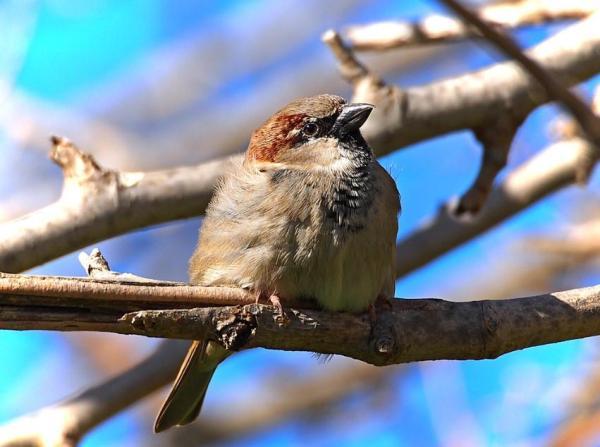 13 oiseaux chanteurs - Moineau domestique (Passer domesticus)