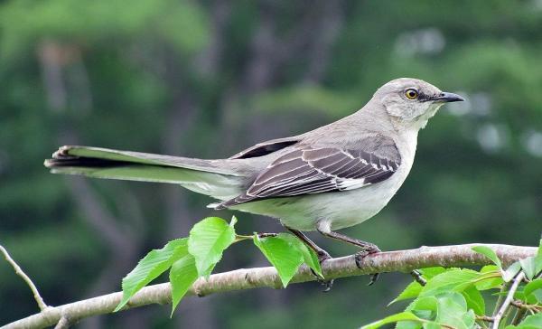 13 oiseaux chanteurs - Moqueur polyglotte (Mimus polyglottos)