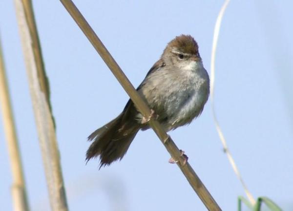 13 oiseaux chanteurs - Rossignol (Luscinia megarhynchos), le roi des oiseaux chanteurs