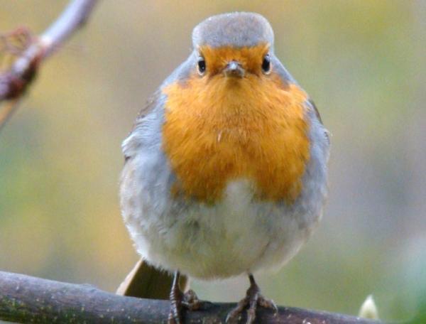 13 oiseaux chanteurs - Rouge-gorge familier (Erithacus rubecula)