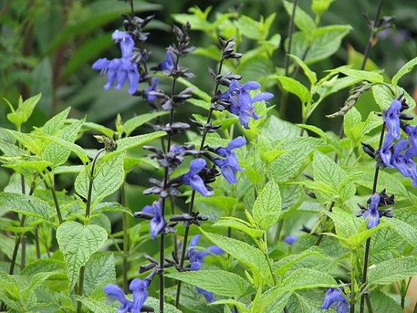 Types de sauges - Variétés, caractéristiques et liste - Sauge Guarani ou Salvia guaranitica