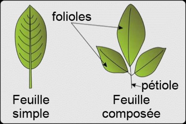 Différents types de feuilles - Schémas, classification et images - Types de feuilles selon la division du limbe
