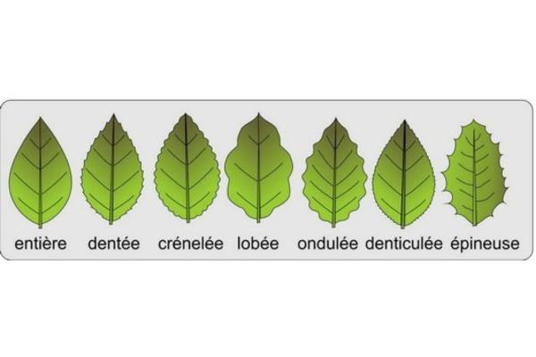 Différents types de feuilles - Schémas, classification et images - Types de feuilles selon leurs bords