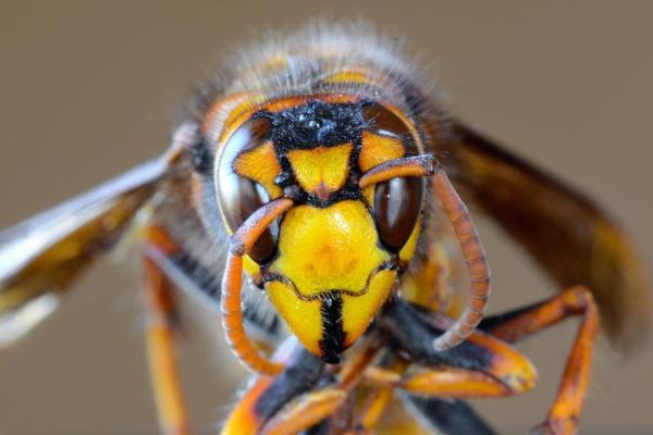 Différences entre abeille, guêpe et bourdon - Différence entre les piqûres d'abeilles, de guêpes et de bourdons