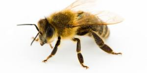 Différences entre abeille, guêpe et bourdon