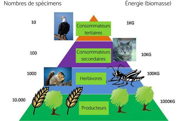 Flux de matière et d'énergie dans un écosystème : définition et exemples - Définition du flux de matière et d'énergie dans un écosystème